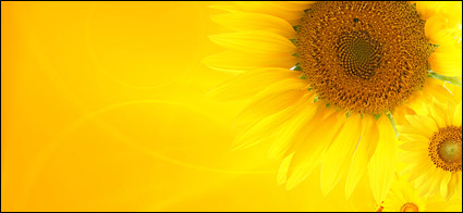 Sunflower picture background material-1