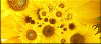 Sunflower picture background material-4